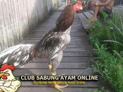 5 Jenis Ayam Klawu Di Indonesia