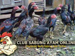 Cara Memelihara Ayam Aduan Remaja