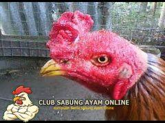 Jenis Sumber Penyakit Yang Menyerang Ayam Aduan