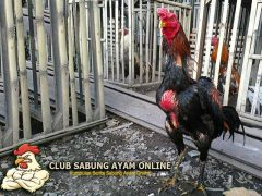 Cara Mengatasi Tembolok Macet Ayam Aduan