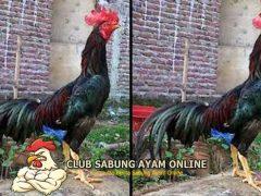 Mengenal Ayam Aduan Bangkalan