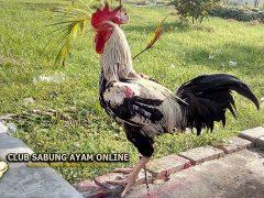 Mangenal Ayam Gaok Madura
