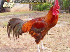Cara Merawat Ayam Pelung Benar