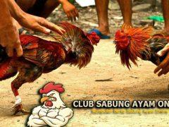Mengenal Ayam Taji Dan Ayam Pukul