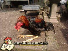 Cara Merawat Kaki Ayam Aduan Yang Lemas