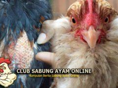 Cara Mengatasi Ayam Kanibalisme