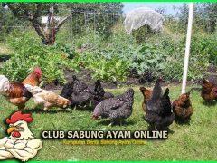 Tumbuhan Yang Disukai Ayam