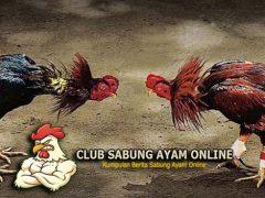 TeKnik Ayam Bangkok Menjuarai Arena